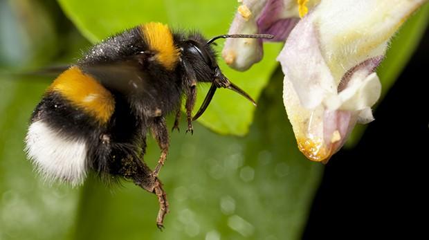 1449660701-buff-tailed-bumblebee-620x347